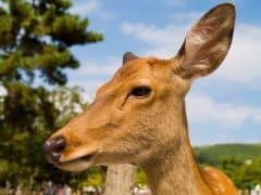 Shika deer in Nara Park