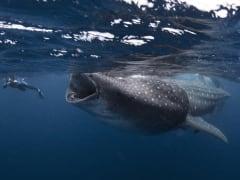 001SN-Whaleshark-huge1_224031