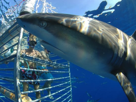 Shark Tours With Or Without Cages Serve Up Face Time Fearsome Fish