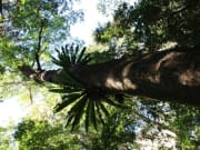 gondwana rainforest native tree viewed from below