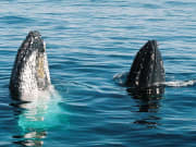 two humpback whales in photo