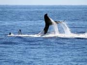 tail slap lobtailing whale australia
