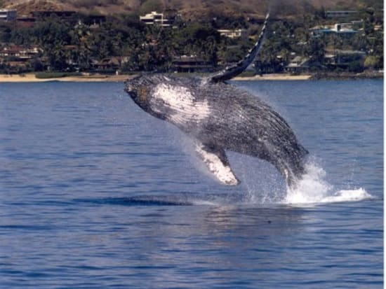 Majestic Waikiki Whale Watch Afternoon Cruise See Hawaii