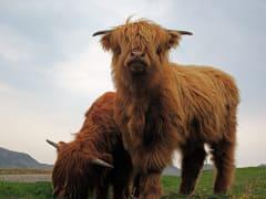 5 Highland Cows