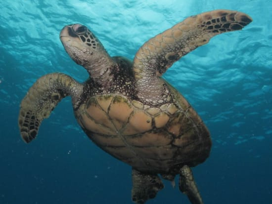 USA_Hawaii_Molokini_Hawaiian-Green-Turtle