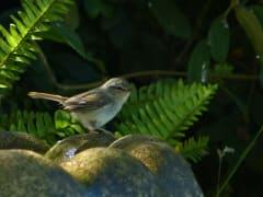Molokai_Bird