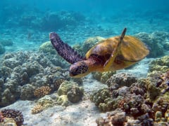 Turtle_Swim