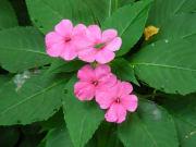 Molokai_Flower