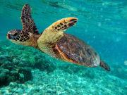 Turtle_Swim3
