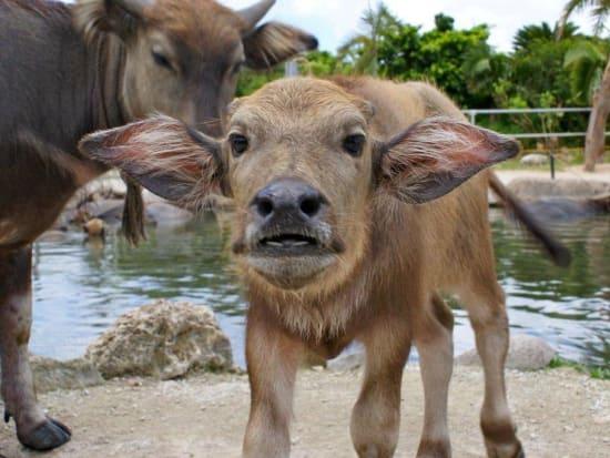 由布島水牛子牛
