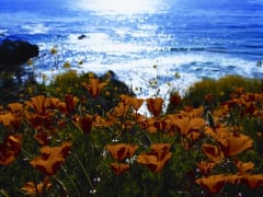 Monterey Field of California Poppys