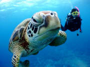 Diving with sea turtles in Okinawa
