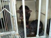 20130910104541_63972_Barlotti_factory_buffalo_baby