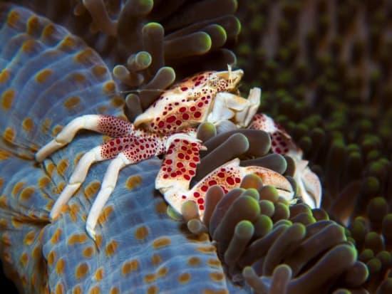 dewi-porcelain-crab