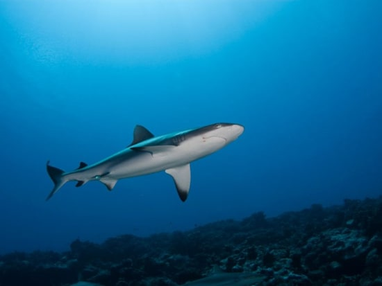 08-requin-gris-photo-V.Truchet