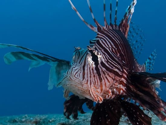 06-pterois-volitans-photo-V.Truchet