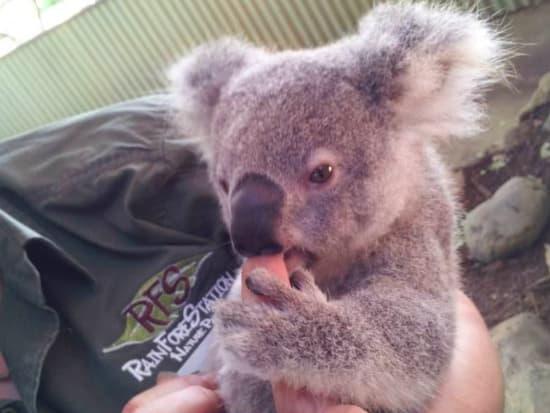 koala joey7