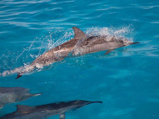 Hawaii_Maui_Laihana Cruise_Dolphin Snorkeling