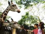 Singapore Zoo, Giraffe
