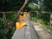 Orange_LacewingHIRES