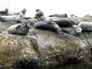 Harbour Seals 1