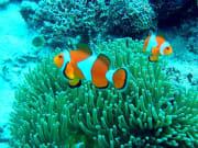 Clownfish Cebu Nalusuan Island Snorkeling
