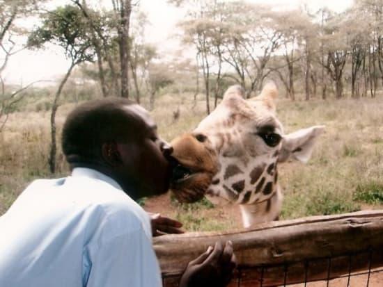 キリンと触れ合えます。