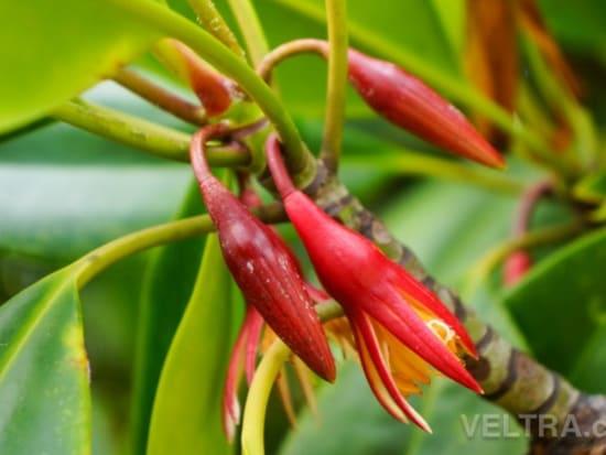 lembongan_mangrove-17