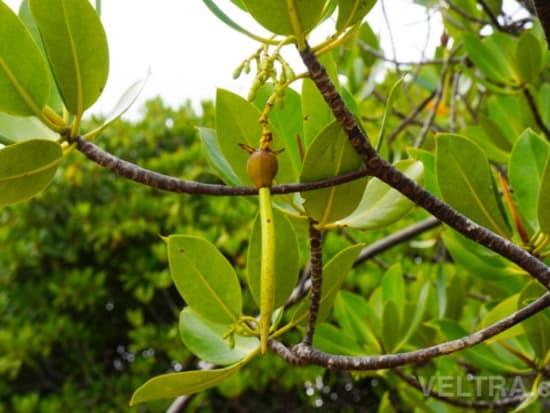 lembongan_mangrove-16