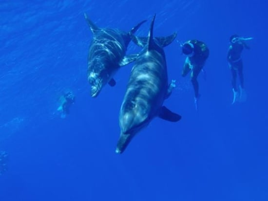 swim with dolphins on a half day tour of the ogasawara islands