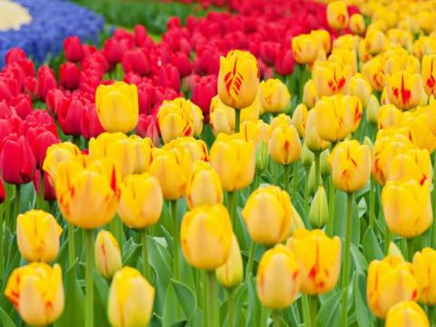 キューケンホフ公園のチューリップ鑑賞(3月~5月) (季節限定ツアー)   オランダの観光・オプショナルツアー専門 VELTRA(ベルトラ)