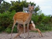 フレペ:親子鹿