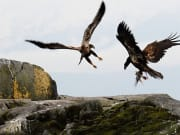 Juvenille-eagles-fighting-over-a-bird-for-lunch-900x500