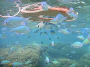 ボートスノーケル)魚群れ