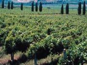 Frascati Vineyard