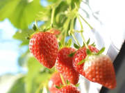 Strawberry Picking all-you-can-eat in Yamanashi