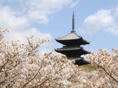 CCherry Blossoms and 5-storied Pagoda at Ninna-ji