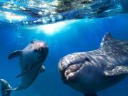dolphin 1-ss