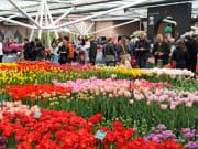 Amsterdam, Tulips
