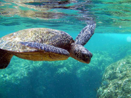 turtle_hawaii-mcgraths