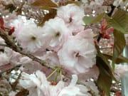 厚岸町の芽野日公園には園里黄桜2