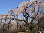 荒川清雲寺しだれ桜