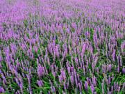 花の回廊 秩父ムラサキラン