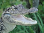 usa_new orleans_airboat ride_alligator