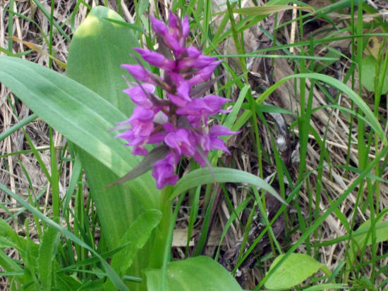 初夏の花「ハクサンチドリ」