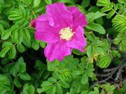 初夏の花「ハマナス」