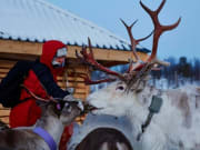 Reindeer feeding in Arctic Circle