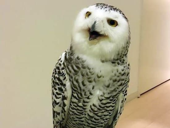 An owl that looks like he is laughing