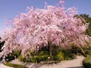 退蔵院メイン紅しだれ桜