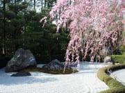 退蔵院石庭桜2